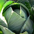 Gabbage_cove_chou_vert