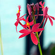 Orchid_orchyde