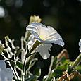 White_petunia_branco_blanc