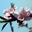 Peachtree_flower_fleur_de_pecher