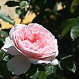 Rose_2_lof_04_2007