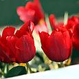 Tulip_tulipe_tulipa