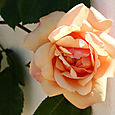 Rose_orange_rosa_cor_de_laranja