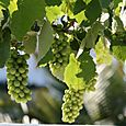 Raisin_grapes_uvas