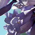 Blue_jacaranda_mimosifolia_flambloyant_b