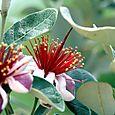 Flower_fleur_feijoa_acca_sellowiana_pine