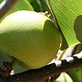 Nashi_pear_pyrus_pyrifolia
