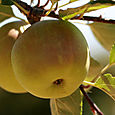 Pomme_apple_maa