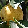 Nashi_shinsui_asian_pear
