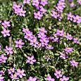 Violet_purple_flower