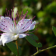 Capparis_spinosa_caper_flower_caprier