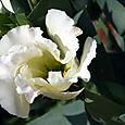 Lysanthus