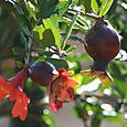Pomegranate_grenade