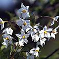 Solanum_jasminoide