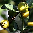 Lemon_guava_psidium_cattleianum