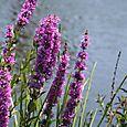 Salicaire_purple_loosestrife_lythrum_sal