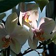 Orchid_orchides