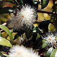 Eugenia_myrtifolia_syzygium_paniculatum_