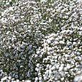 Gypsophila_vivace_paniculata_babysbreath