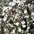 Gypsophila_paniculata_babysbreath