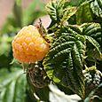 Raspberry_framboise_framboesa