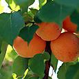 Abricot_apricot_alperce