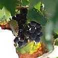 Grapes_raisin_uva