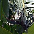 Strelitzia_nicolai_giant_bird_of_paradis