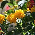 Yellow_lantana_jaune_amarelo