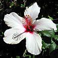 Hibiscus_2004