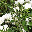 Roses_blanches