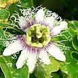 Fleur_de_la_passion_passiflora_dulis