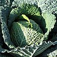 Cabbage_chou