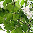 Apple_blossom_fleurs_de_pommier
