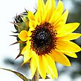 Yellow_sunflower_tournesol_jaunesonnenbl