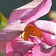 Pink_lotus_rose_rosea