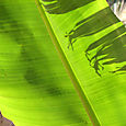 Feuille_de_bananier_banana_leaf