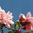 Rose_3