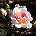 Rose_tardive