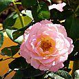 Rose_rose_rosa