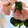 Roses_de_lugar_dolhar_feliz