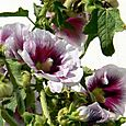 Hollyhock_rose_trmire