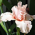 Iris_barbu_bearded_iris