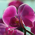Orchid_orchide