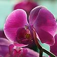Orchid_orchide