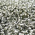 Cerastium_tomentosum_snow_in_summer_corb
