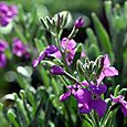 Virginia_stock_malcolmia_maritima_girofl
