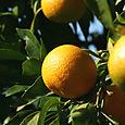 Oranges_laranjas