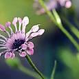 South_african_daisy_dimorphotheca_osteos