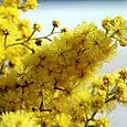 Mimosa_acacia_dealbata